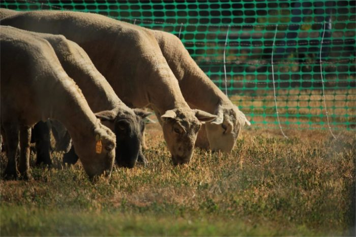 sheep eat grass at uc davis as part of sustainability project.